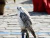 Spectacle de rapaces et fauconnerie en vol libre pour l'événementiel